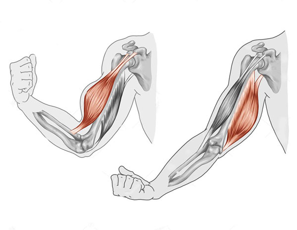 Exercice-Musculation-Biceps-Triceps