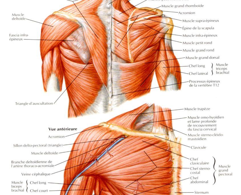 muscles-epaules